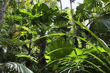 Licuala Fan Palm (Licuala ramsayi) group in forest, Mission Beach, North Queensland, Queensland, Australia  -  Konrad Wothe