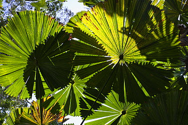 Licuala Fan Palm (Licuala ramsayi) fronds, Mission Beach, North Queensland, Queensland, Australia  -  Konrad Wothe