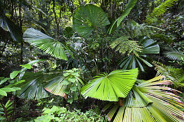 Licuala Fan Palm (Licuala ramsayi) in forest, Mission Beach, North Queensland, Queensland, Australia  -  Konrad Wothe