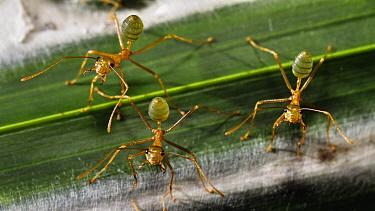 Green Tree Ant (Oecophylla smaragdina) trio guarding their nest, Queensland, Australia  -  Konrad Wothe