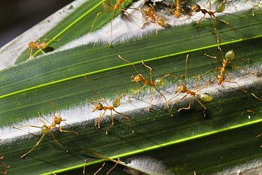 Green Tree Ant (Oecophylla smaragdina) group guarding their nest, Queensland, Australia  -  Konrad Wothe