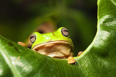 White's Tree Frog (Litoria caerulea), Iron Range National Park, Cape York Peninsula, North Queensland, Queensland, Australia  -  Konrad Wothe