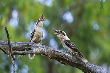 Laughing Kookaburra (Dacelo novaeguineae) pair calling, Queensland, Australia  -  Konrad Wothe