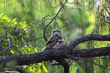 Papuan Frogmouth (Podargus papuensis) parent with chick on its nest, Iron Range National Park, Cape York Peninsula, North Queensland, Queensland, Australia  -  Konrad Wothe
