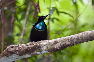 Magnificent Riflebird (Ptiloris magnificus) male, Iron Range National Park, Cape York Peninsula, North Queensland, Queensland, Australia  -  Konrad Wothe