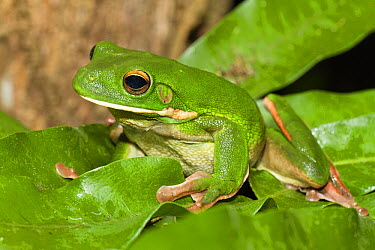 White-lipped Tree Frog (Litoria infrafrenata), Iron Range National Park, Cape York Peninsula, North Queensland, Queensland, Australia  -  Konrad Wothe