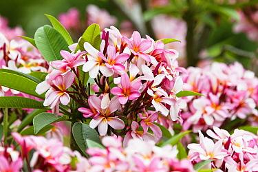 Plumeria (Plumeria sp) flowers, Australia  -  Konrad Wothe