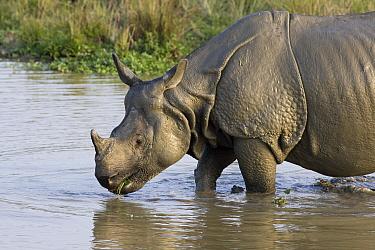 Indian Rhinoceros (Rhinoceros unicornis) male entering muddy waterhole, Kaziranga National Park, India  -  Suzi Eszterhas