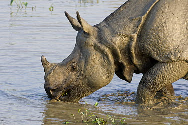 Indian Rhinoceros (Rhinoceros unicornis) male drinking from muddy waterhole, Kaziranga National Park, India  -  Suzi Eszterhas