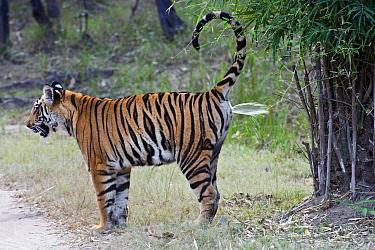 Bengal Tiger (Panthera tigris tigris) spraying urine to mark territory, Bandhavgarh National Park, India  -  Suzi Eszterhas