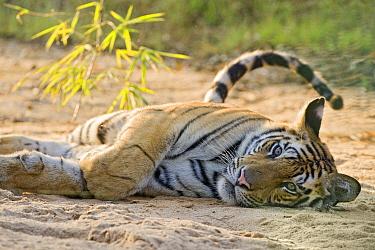 Bengal Tiger (Panthera tigris tigris) resting, Bandhavgarh National Park, India  -  Suzi Eszterhas