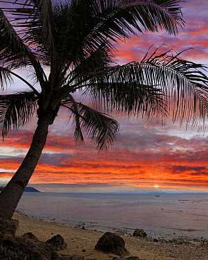 Coconut Palm (Cocos nucifera) at sunset near Dimiao, Bohol Island, Philippines  -  Tim Fitzharris