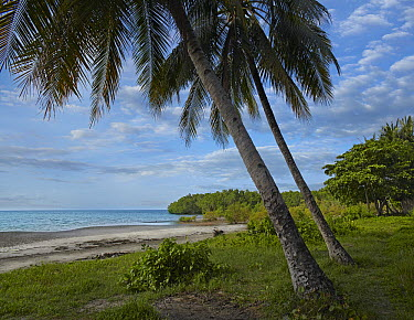 Coconut Palm (Cocos nucifera) trees and mangroves at Hinawanan Beach, Bohol Island, Philippines  -  Tim Fitzharris