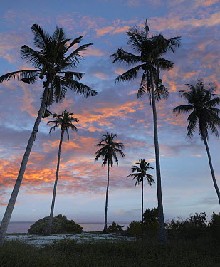 Coconut Palm (Cocos nucifera) trees at dusk on Pamilacan Island, Philippines  -  Tim Fitzharris