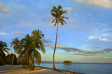 Coconut Palm (Cocos nucifera) trees on Pamilacan Island, Philippines  -  Tim Fitzharris