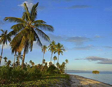 Coconut Palm (Cocos nucifera) trees on Pamilacan Island, Philippines  -  Tim Fitzharris