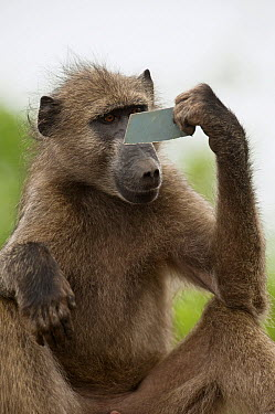 Chacma Baboon (Papio ursinus) looking in mirror, Kruger National Park, South Africa  -  Pete Oxford