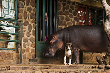 Hippopotamus (Hippopotamus amphibius) named Jessica was orphaned as a baby, on porch with dog and person, Lowveld, South Africa  -  Pete Oxford