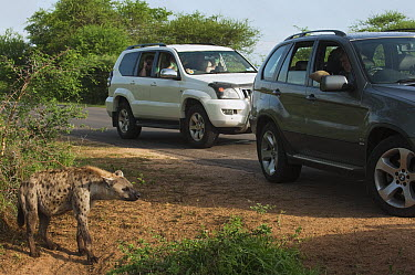 Spotted Hyena (Crocuta crocuta) and vehicles, Kruger National Park, South Africa  -  Pete Oxford