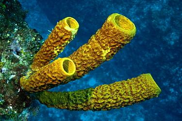 Yellow Tube Sponge (Aplysina fistularis) group, Xcalak National Reef Park, Mahahual, Quintana Roo, Mexico  -  Pete Oxford