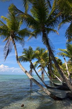 Coconut Palm (Cocos nucifera) group on coast, Sian Ka'an Biosphere Reserve, Quintana Roo, Mexico  -  Pete Oxford