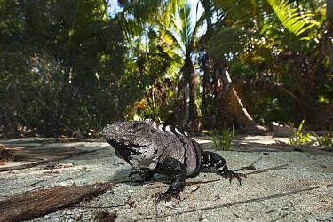 Black Spiny-tailed Iguana (Ctenosaura similis) on beach, Sian Ka'an Biosphere Reserve, Quintana Roo, Mexico  -  Pete Oxford
