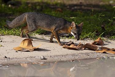 Common Gray Fox (Urocyon cinereoargenteus) on shore, Sian Ka'an Biosphere Reserve, Quintana Roo, Mexico  -  Pete Oxford