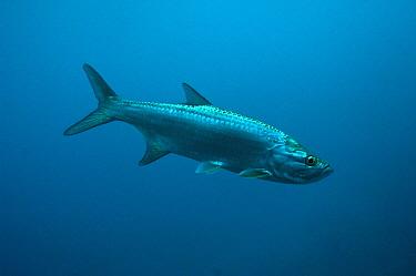 Atlantic Tarpon (Megalops atlantica), Xcalak National Reef Park, Mahahual, Quintana Roo, Mexico  -  Pete Oxford