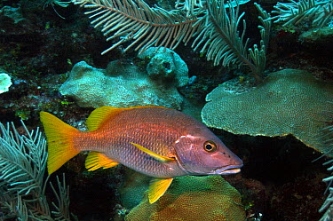 Schoolmaster (Lutjanus apodus), Xcalak National Reef Park, Mahahual, Quintana Roo, Mexico  -  Pete Oxford