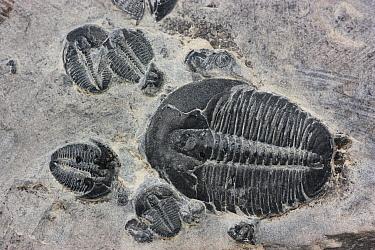 Trilobite fossils  -  Hiroya Minakuchi