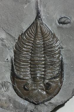 Trilobite fossil  -  Hiroya Minakuchi