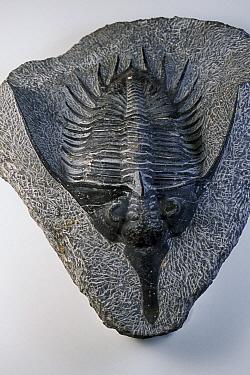 Trilobite (Psychopyge elegans) fossil  -  Hiroya Minakuchi