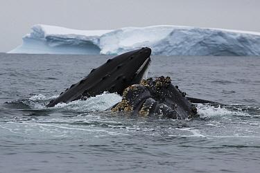 Humpback Whale (Megaptera novaeangliae) pair gulp feeding, Antarctica  -  Hiroya Minakuchi