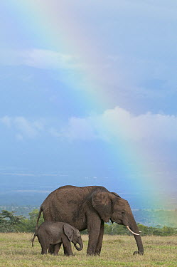 African Elephant (Loxodonta africana) mother and calf grazing with rainbow in background, Ol Pejeta Conservancy, Kenya  -  Tui De Roy
