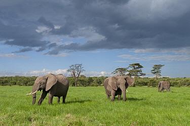 African Elephant (Loxodonta africana) trio, Ol Pejeta Conservancy, Kenya  -  Tui De Roy