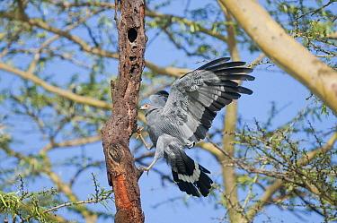 African Harrier Hawk (Polyboroides typus) landing, Ol Pejeta Conservancy, Kenya  -  Tui De Roy