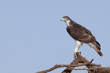 African Hawk-Eagle (Hieraaetus spilogaster), Lewa Wildlife Conservation Area, Kenya  -  Tui De Roy