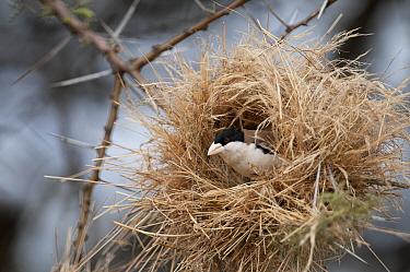 Black-capped Social-Weaver (Pseudonigrita cabanisi) in nest, Kenya  -  Tui De Roy