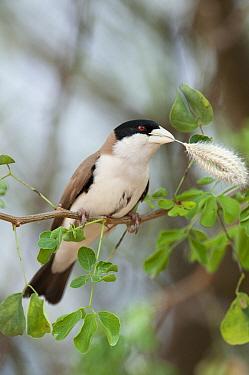 Black-capped Social-Weaver (Pseudonigrita cabanisi) carrying nesting material, Tumaren Ranch, Kenya  -  Tui De Roy