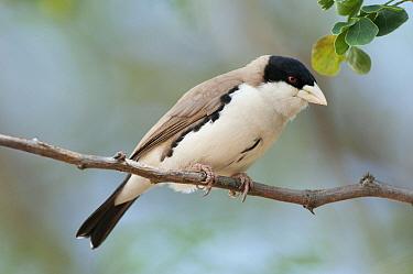 Black-capped Social-Weaver (Pseudonigrita cabanisi), Tumaren Ranch, Kenya  -  Tui De Roy