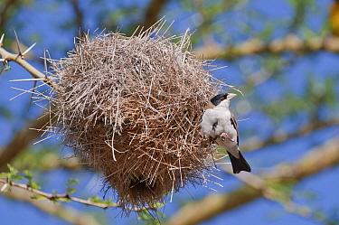 Black-capped Social-Weaver (Pseudonigrita cabanisi) at nest, Mpala Research Centre, Kenya  -  Tui De Roy