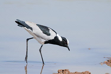 Blacksmith Lapwing (Vanellus armatus) wading, El Karama Ranch, Kenya  -  Tui De Roy