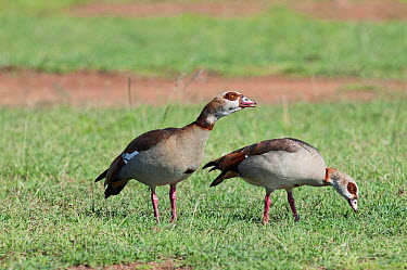 Egyptian Goose (Alopochen aegyptiacus) pair grazing, Mpala Research Centre, Kenya  -  Tui De Roy