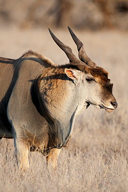 Common Eland (Tragelaphus oryx) male, Lewa Wildlife Conservation Area, Kenya  -  Tui De Roy