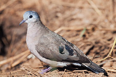 Emerald-spotted Wood-Dove (Turtur chalcospilos), Loisaba Wilderness, Kenya  -  Tui De Roy