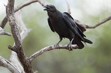 Fan-tailed Raven (Corvus rhipidurus) calling, Kenya  -  Tui De Roy