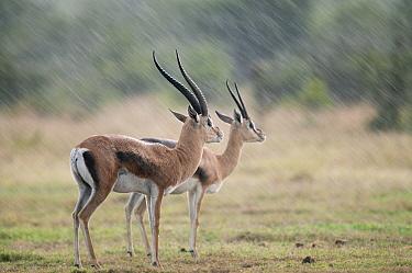 Grant's Gazelle (Nanger granti) male and female in rainstorm, Ol Pejeta Conservancy, Kenya  -  Tui De Roy