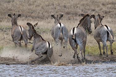 Grevy's Zebra (Equus grevyi) group running from waterhole, Loisaba Wilderness, Kenya  -  Tui De Roy