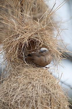 Grey-headed Social-Weaver (Pseudonigrita arnaudi) in partially built nest, Kenya  -  Tui De Roy