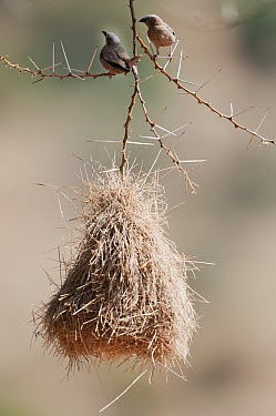Grey-headed Social-Weaver (Pseudonigrita arnaudi) pair at nest, Kenya  -  Tui De Roy
